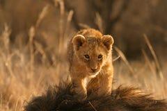 lew młode Obrazy Stock