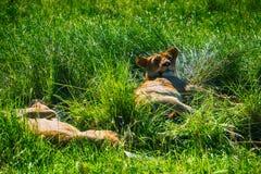 Lew - Maasai Mara park narodowy w Kenja, Afryka Obrazy Royalty Free