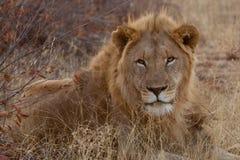 Lew, Madikwe gry rezerwa obraz royalty free