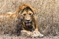 lew majestic Zdjęcia Royalty Free