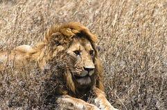 lew majestic Zdjęcie Royalty Free