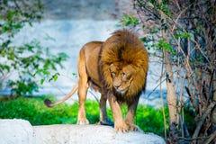 lew możny obraz stock