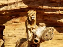 Lew na drewnianej beli Zdjęcie Stock