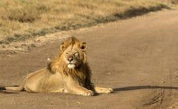 Lew na drodze, Tarangire park narodowy, Tanzania, Afryka Zdjęcie Royalty Free
