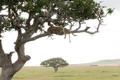 Lew na drzewie fotografia stock