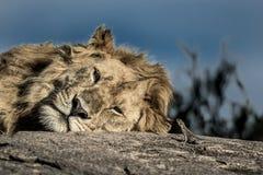 Lew na drzewie w Serengeti parku narodowym Obrazy Royalty Free
