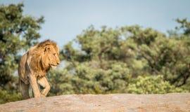 Lew na skałach Zdjęcia Royalty Free
