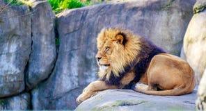 Lew na skale Obrazy Royalty Free