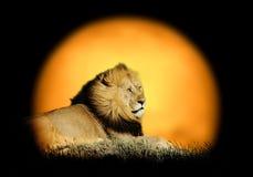 Lew na tle zmierzch zdjęcie royalty free
