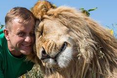 Lew naciera jego głowę przeciw mężczyzna ` s głowie w safari parku Taigan, Zdjęcie Royalty Free