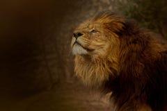 Lew obwąchuje powietrze dla zdobycza? zdjęcie royalty free