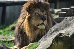 Lew odpoczywa na trawie Zdjęcie Stock