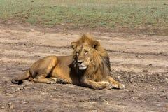 Lew odpoczywa na ziemi serengeti Tanzania Fotografia Stock