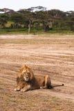 Lew odpoczywa na ziemi w piaskowatej sawannie Serengeti, Tanzania Zdjęcie Royalty Free