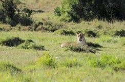 Lew odpoczywa w szerokim sawanna obszarze trawiastym Obraz Stock