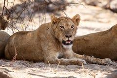 Lew - Okavango delta - Moremi N P obraz stock