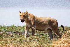 Lew - Okavango delta - Moremi N P obrazy stock