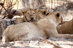 Lew - Okavango delta - Moremi N P obraz royalty free