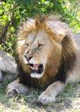Lew otwiera jego usta Zdjęcia Royalty Free