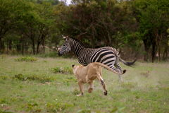 lew łowiecka zebra Obrazy Royalty Free