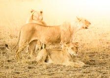 Lew paczka w naturalnym siedlisku afrykańska sawanna, Ngorongoro konserwaci teren, Tanzania, Afryka Obraz Stock