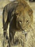 Lew (panthera Leo) Fotografia Royalty Free