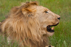 Lew (Panthera Leo) Obrazy Royalty Free