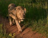 Lew: Panthera Leo gapi się naprzód, Fotografia Royalty Free