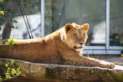 Lew, Panthera Leo jest jeden cztery du?ego kota w genus Panthera obraz royalty free