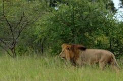 Lew (Panthera Leo krugeri) Obraz Royalty Free