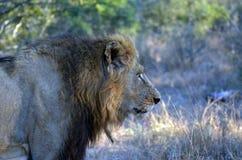 Lew (Panthera Leo krugerii) Zdjęcia Stock