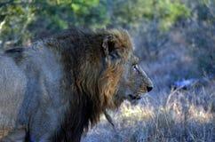 Lew (Panthera Leo krugerii) Obraz Royalty Free