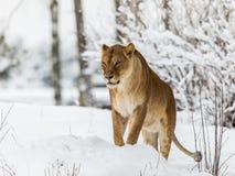 Lew, Panthera Leo, lionesse pozycja w śniegu, patrzeje lewica Horyzontalny wizerunek, śnieżni drzewa w tle Zdjęcie Stock