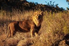 Lew, Panthera Leo przy gemow? przeja?d?k? w Namibia Afryka zdjęcia stock