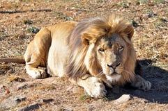Lew (Panthera Leo) w Afryka Fotografia Stock