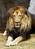 Lew (Panthera Leo) w Afryka Zdjęcie Royalty Free