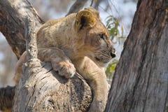 Lew (Panthera Leo) w drzewie Fotografia Stock