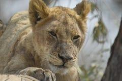 Lew (Panthera Leo) w drzewie Fotografia Royalty Free