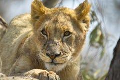 Lew (Panthera Leo) w drzewie Obraz Stock