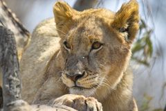 Lew (Panthera Leo) w drzewie Obrazy Stock