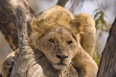Lew (Panthera Leo) w drzewie, Kruger Nati Fotografia Stock