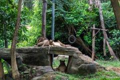 Lew para kłama wpólnie Lwa oblizania lwica Zwierzęta kochają, uczucia tło Tropikalny Bali wyspy zoo fotografia stock