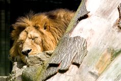 lew śpi Zdjęcie Royalty Free