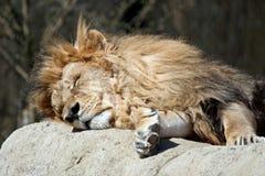 lew śpi Zdjęcia Royalty Free