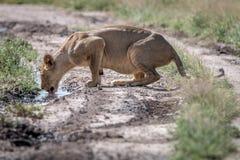 Lew pije od basenu woda Obrazy Stock