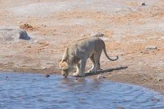 Lew pije przy wodnym stawem Przyroda safari w Etosha parku narodowym główny podróży miejsce przeznaczenia w Namibia, Afryka obrazy royalty free