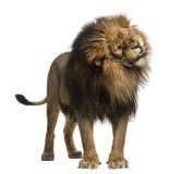 Lew pozycja, huczenie, Panthera Leo, 10 lat, odizolowywających dalej Fotografia Stock