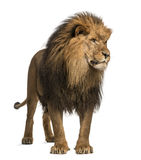 Lew pozycja, patrzejący daleko od, Panthera Leo, 10 lat zdjęcie stock