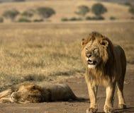 Lew pozycja z wczesnego poranku światłem słonecznym na grzywie Zdjęcie Royalty Free