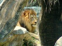 Lew przy Chaing Mai, Tajlandia zoo obrazy stock